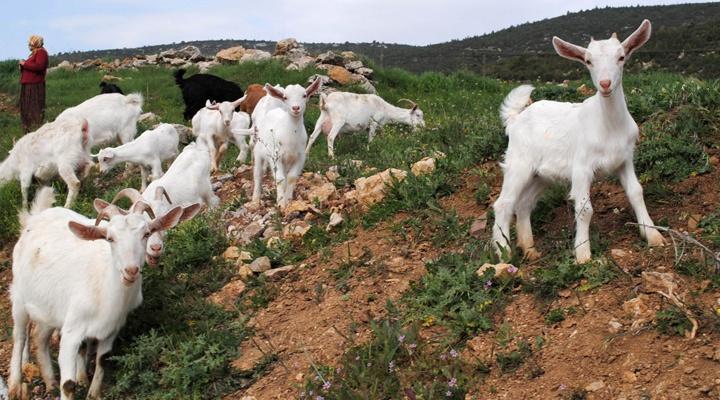 keci-ciftligi-kurmak Keçi Çiftliği Kurmak