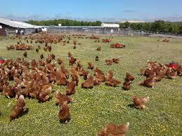 tavuk yetiştiriciliği,yumurta tavuğu yetiştiriciliği,tavuk çiftliği kazancı