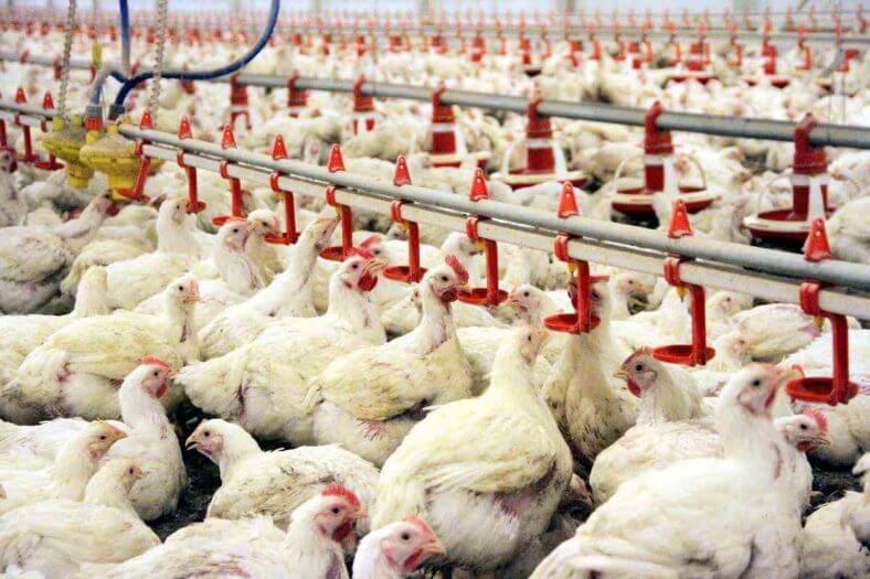 tavuk-çiftliği-kurmak Yumurta tavuğu Yetiştiriciliği hakkında
